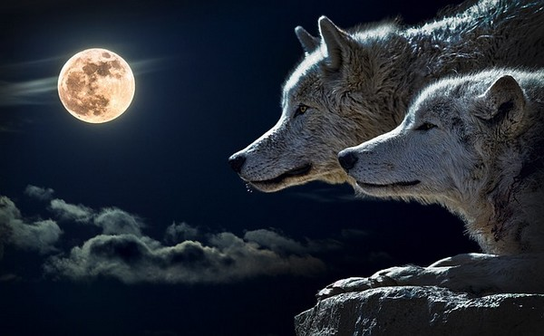 Wolves In Dreams Meanings And Interpretations